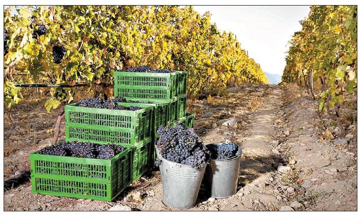 Российский рынок становится невыгодным для грузинских производителей вина и фруктов